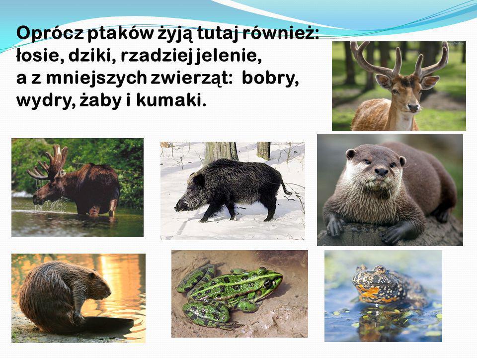 Oprócz ptaków ż yj ą tutaj równie ż : ł osie, dziki, rzadziej jelenie, a z mniejszych zwierz ą t: bobry, wydry, ż aby i kumaki.