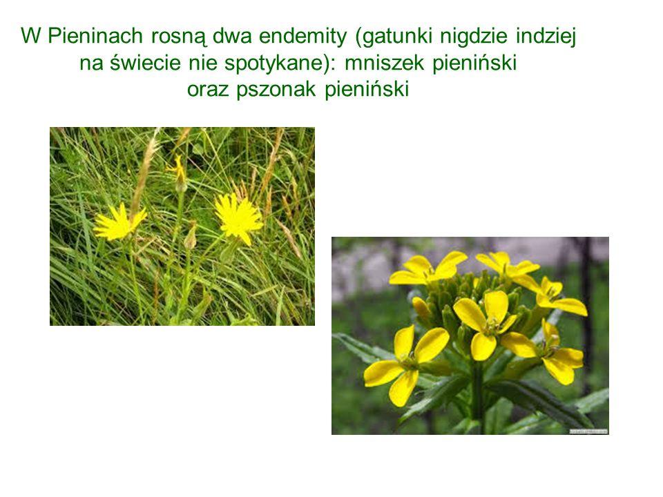 W Pieninach rosną dwa endemity (gatunki nigdzie indziej na świecie nie spotykane): mniszek pieniński oraz pszonak pieniński