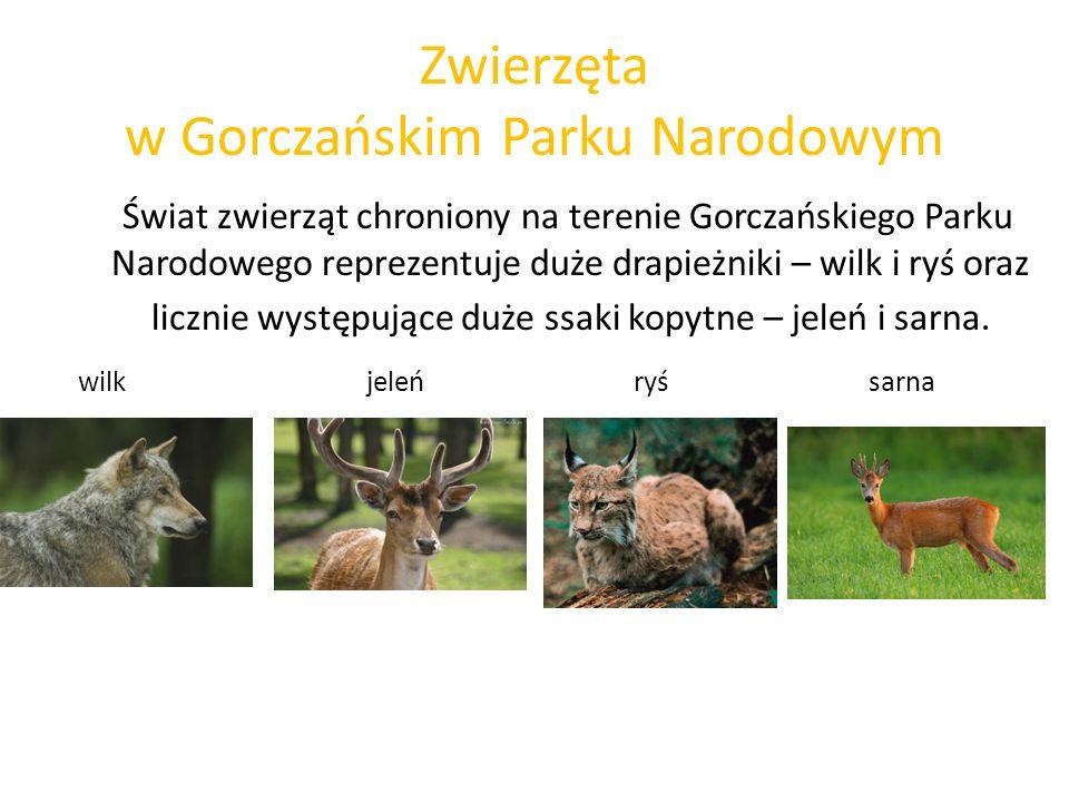 Zwierzęta w Gorczańskim Parku Narodowym Świat zwierząt chroniony na terenie Gorczańskiego Parku Narodowego reprezentuje duże drapieżniki – wilk i ryś