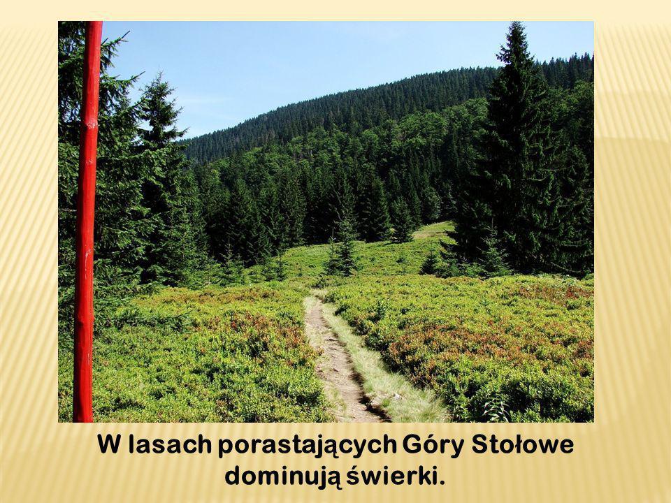 W lasach porastaj ą cych Góry Sto ł owe dominuj ą ś wierki.