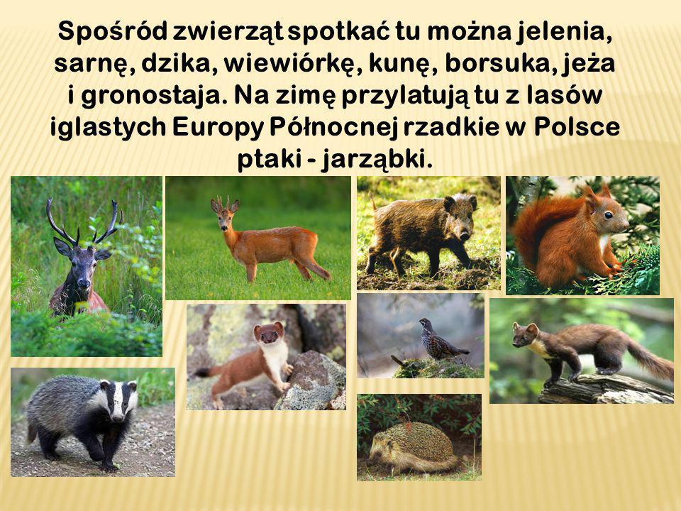 Spo ś ród zwierz ą t spotka ć tu mo ż na jelenia, sarn ę, dzika, wiewiórk ę, kun ę, borsuka, je ż a i gronostaja.