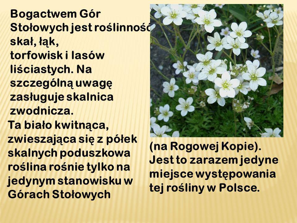 Skalnica zwodnicza znajduje si ę w Polskiej Czerwonej Ksi ę dze Ro ś lin.