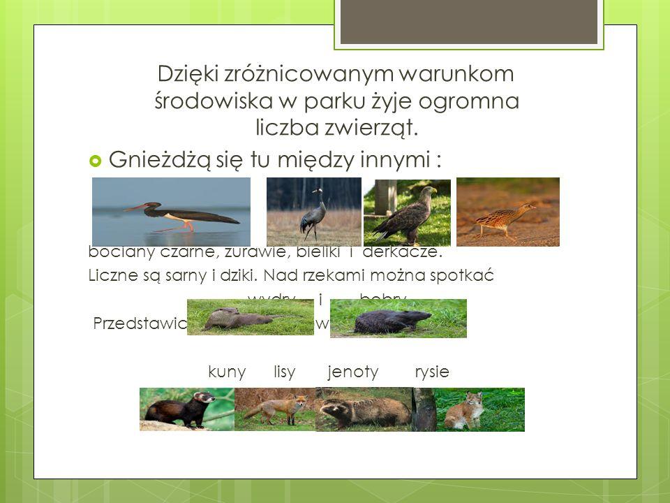 Dzięki zróżnicowanym warunkom środowiska w parku żyje ogromna liczba zwierząt. Gnieżdżą się tu między innymi : bociany czarne, żurawie, bieliki i derk