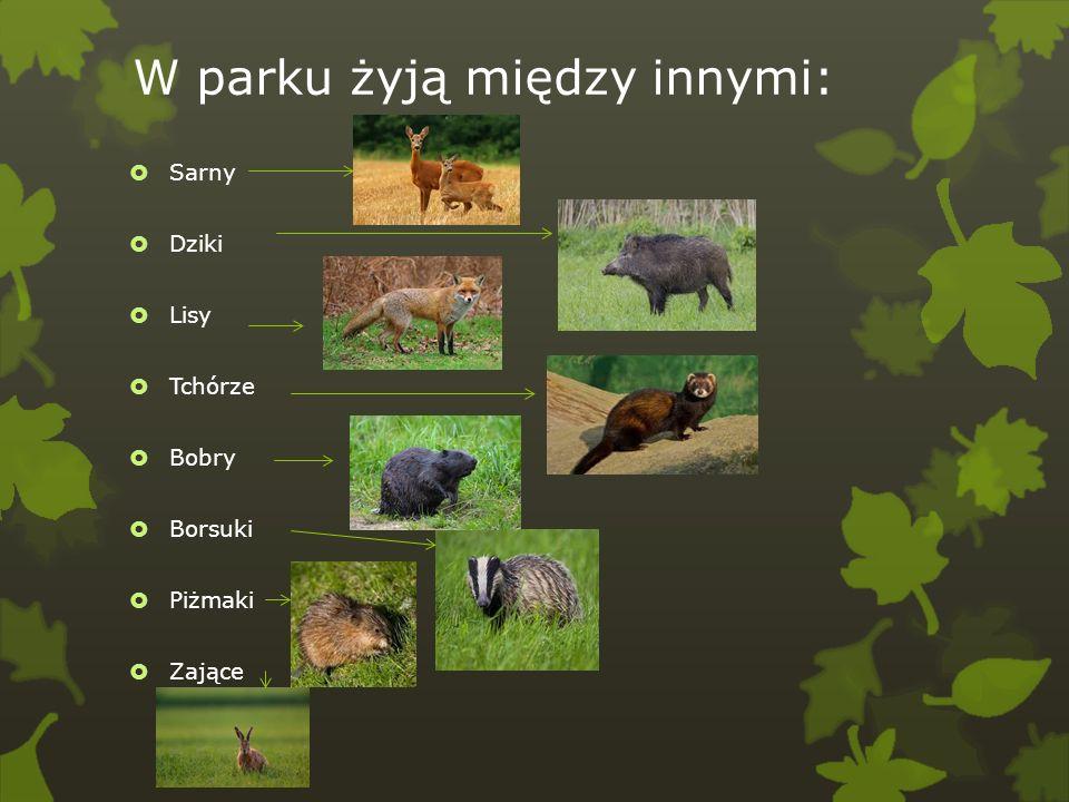 W parku żyją między innymi: Sarny Dziki Lisy Tchórze Bobry Borsuki Piżmaki Zające