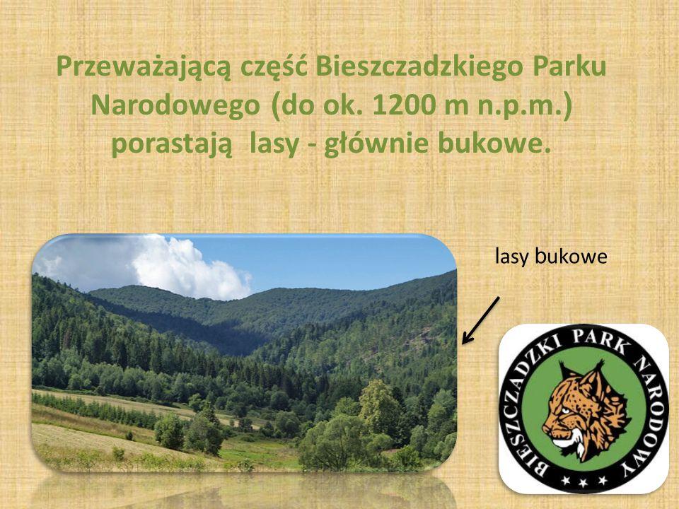 Przeważającą część Bieszczadzkiego Parku Narodowego ( do ok.