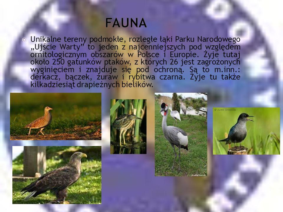Unikalne tereny podmokłe, rozległe łąki Parku Narodowego Ujście Warty to jeden z najcenniejszych pod względem ornitologicznym obszarów w Polsce i Europie.