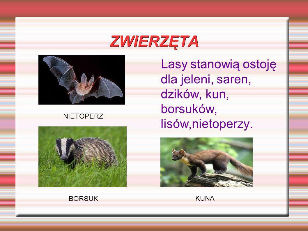 ZWIERZĘTA Lasy stanowią ostoję dla jeleni, saren, dzików, kun, borsuków, lisów,nietoperzy. KUNA NIETOPERZ BORSUK