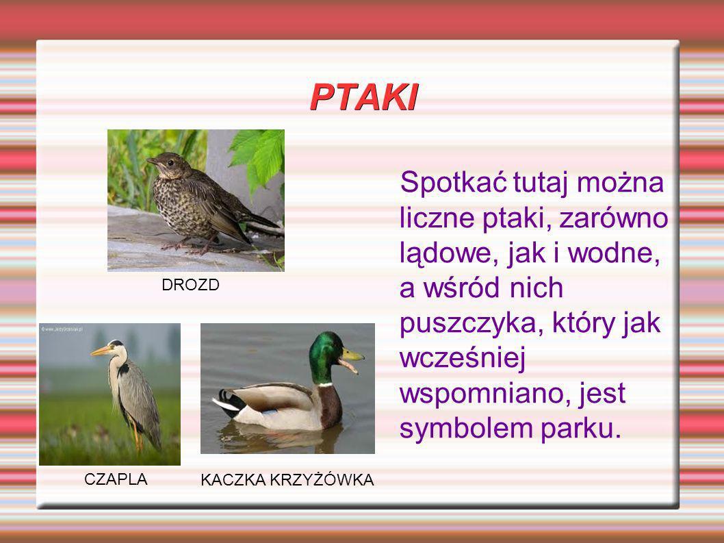 PTAKI Spotkać tutaj można liczne ptaki, zarówno lądowe, jak i wodne, a wśród nich puszczyka, który jak wcześniej wspomniano, jest symbolem parku. KACZ