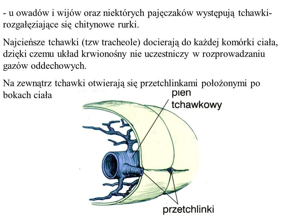 - u owadów i wijów oraz niektórych pajęczaków występują tchawki- rozgałęziające się chitynowe rurki. Najcieńsze tchawki (tzw tracheole) docierają do k