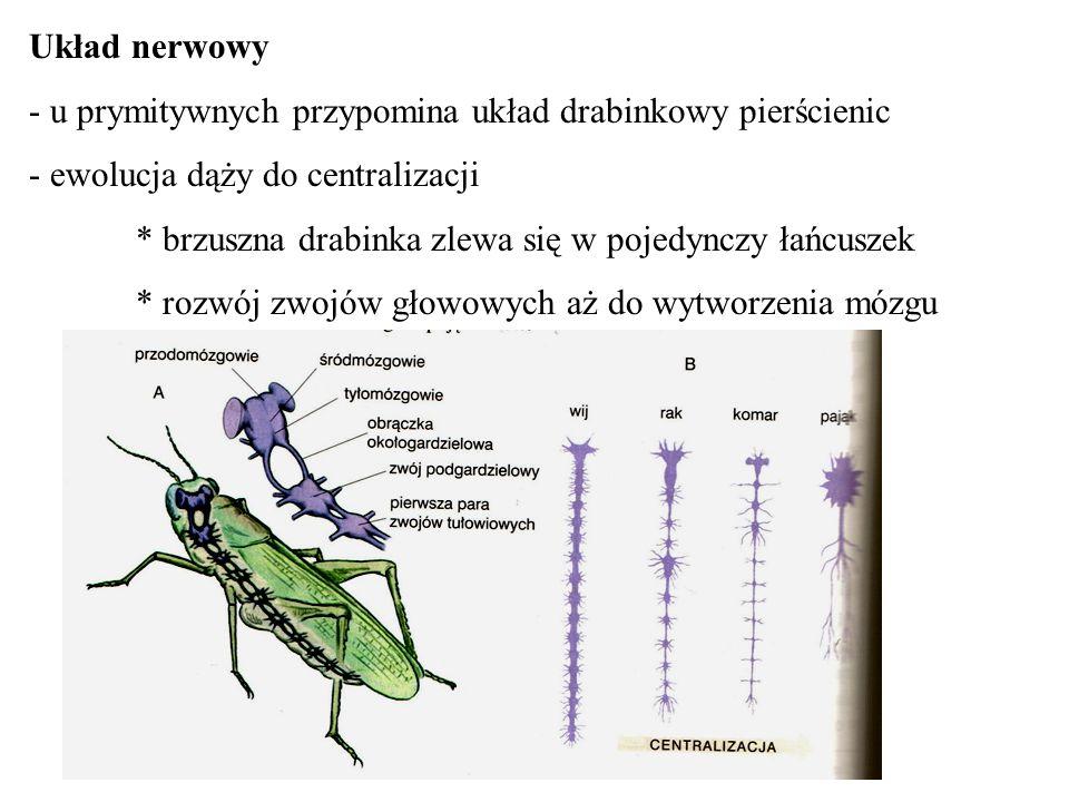 Układ nerwowy - u prymitywnych przypomina układ drabinkowy pierścienic - ewolucja dąży do centralizacji * brzuszna drabinka zlewa się w pojedynczy łań