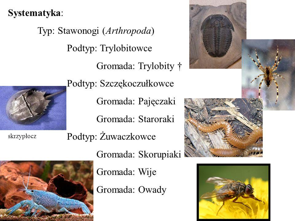 Systematyka: Typ: Stawonogi (Arthropoda) Podtyp: Trylobitowce Gromada: Trylobity Podtyp: Szczękoczułkowce Gromada: Pajęczaki Gromada: Staroraki Podtyp