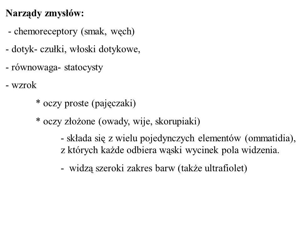 Narządy zmysłów: - chemoreceptory (smak, węch) - dotyk- czułki, włoski dotykowe, - równowaga- statocysty - wzrok * oczy proste (pajęczaki) * oczy złoż
