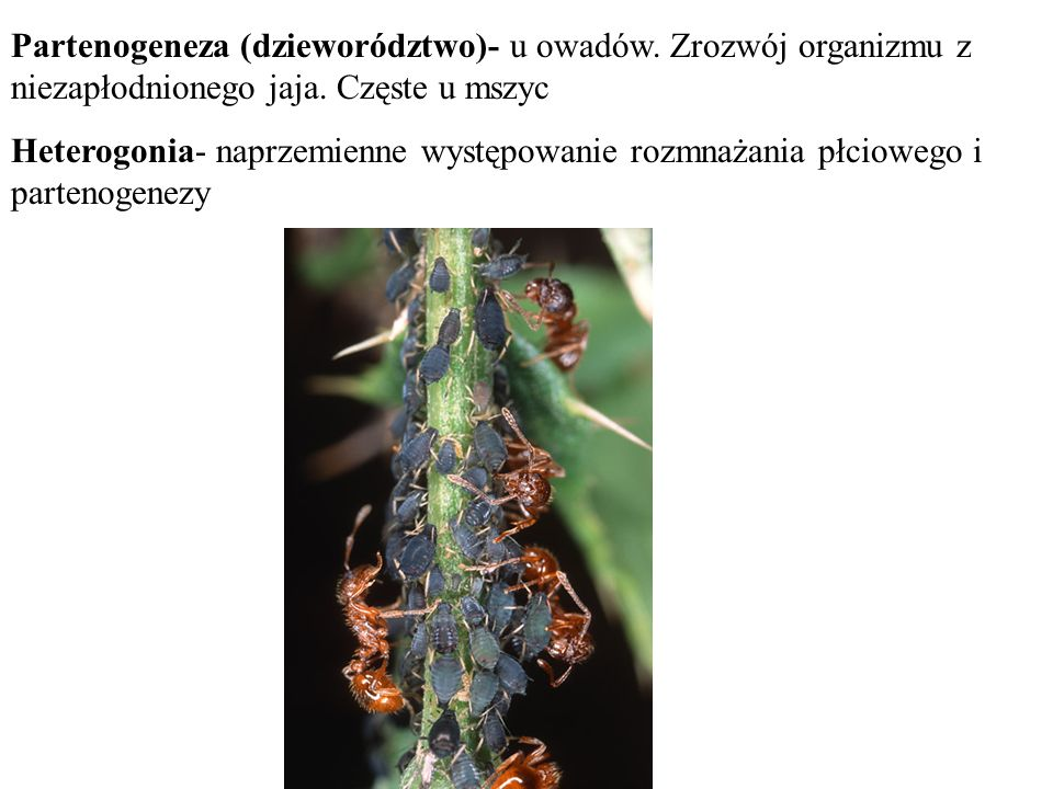 Partenogeneza (dzieworództwo)- u owadów. Zrozwój organizmu z niezapłodnionego jaja. Częste u mszyc Heterogonia- naprzemienne występowanie rozmnażania