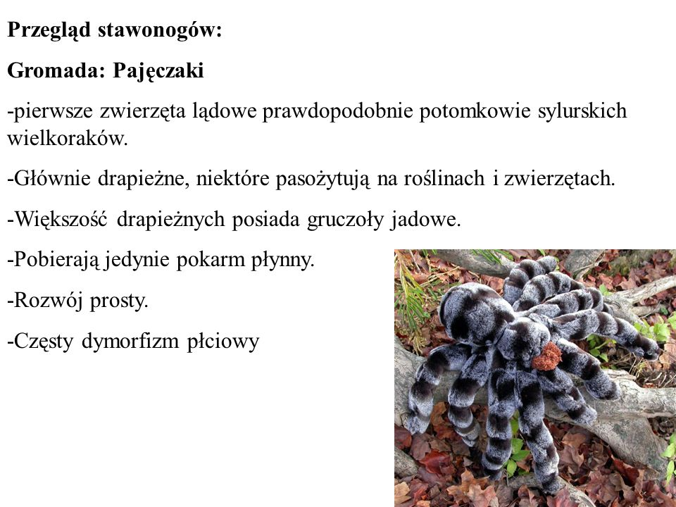 Przegląd stawonogów: Gromada: Pajęczaki -pierwsze zwierzęta lądowe prawdopodobnie potomkowie sylurskich wielkoraków. -Głównie drapieżne, niektóre paso