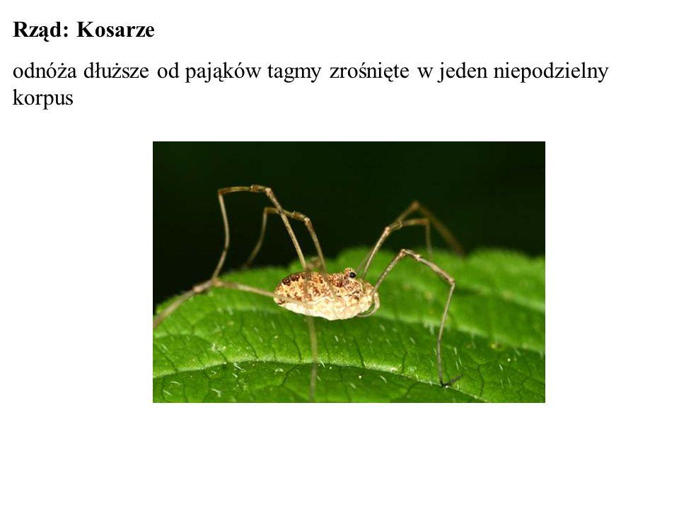 Rząd: Kosarze odnóża dłuższe od pająków tagmy zrośnięte w jeden niepodzielny korpus