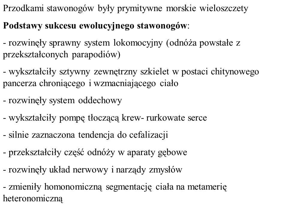 Przodkami stawonogów były prymitywne morskie wieloszczety Podstawy sukcesu ewolucyjnego stawonogów: - rozwinęły sprawny system lokomocyjny (odnóża pow