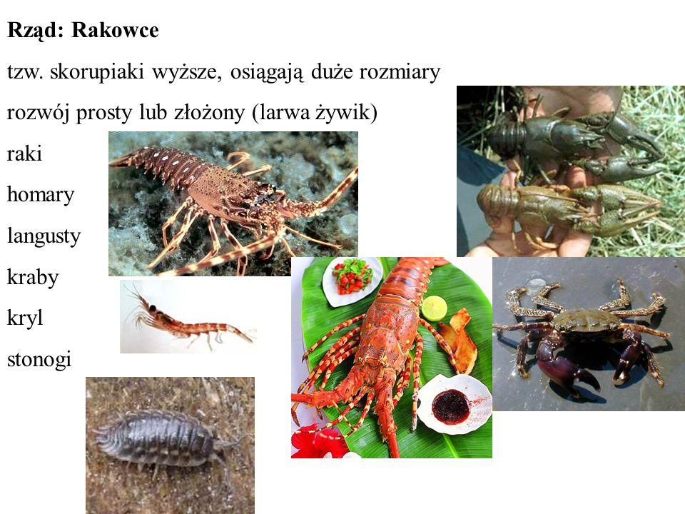 Rząd: Rakowce tzw. skorupiaki wyższe, osiągają duże rozmiary rozwój prosty lub złożony (larwa żywik) raki homary langusty kraby kryl stonogi