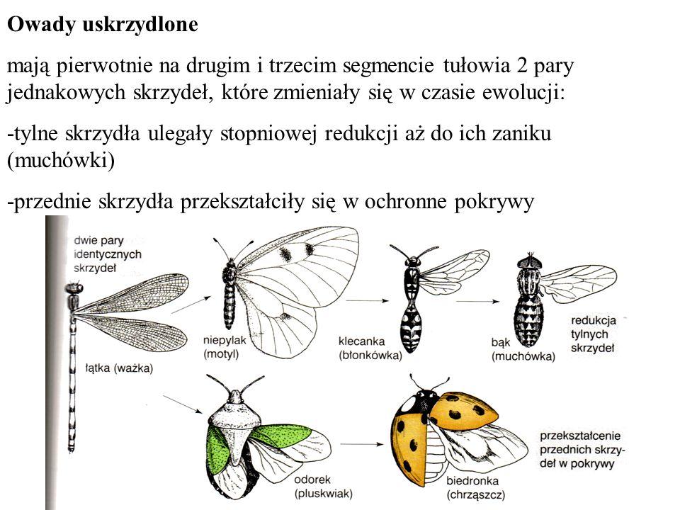 Owady uskrzydlone mają pierwotnie na drugim i trzecim segmencie tułowia 2 pary jednakowych skrzydeł, które zmieniały się w czasie ewolucji: -tylne skr
