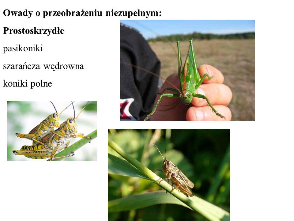 Owady o przeobrażeniu niezupełnym: Prostoskrzydłe pasikoniki szarańcza wędrowna koniki polne