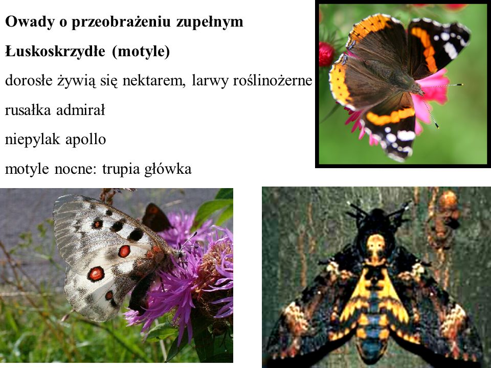 Owady o przeobrażeniu zupełnym Łuskoskrzydłe (motyle) dorosłe żywią się nektarem, larwy roślinożerne rusałka admirał niepylak apollo motyle nocne: tru