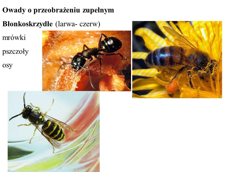 Owady o przeobrażeniu zupełnym Błonkoskrzydłe (larwa- czerw) mrówki pszczoły osy