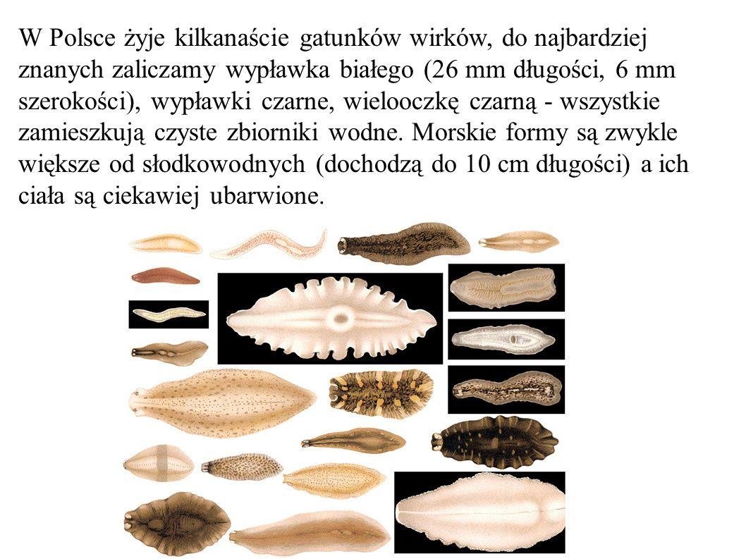 W Polsce żyje kilkanaście gatunków wirków, do najbardziej znanych zaliczamy wypławka białego (26 mm długości, 6 mm szerokości), wypławki czarne, wielo