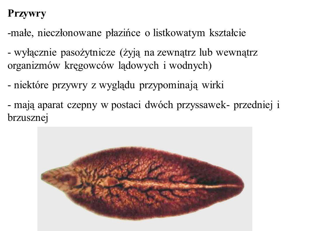 Przywry -małe, nieczłonowane płazińce o listkowatym kształcie - wyłącznie pasożytnicze (żyją na zewnątrz lub wewnątrz organizmów kręgowców lądowych i