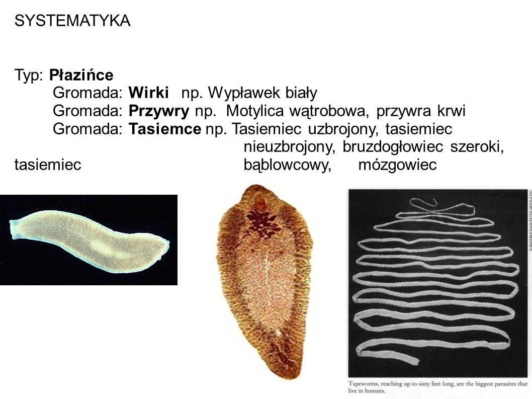 SYSTEMATYKA Typ: Płazińce Gromada: Wirki np. Wypławek biały Gromada: Przywry np. Motylica wątrobowa, przywra krwi Gromada: Tasiemce np. Tasiemiec uzbr