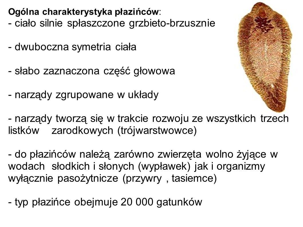 Ogólna charakterystyka płazińców: - ciało silnie spłaszczone grzbieto-brzusznie - dwuboczna symetria ciała - słabo zaznaczona część głowowa - narządy