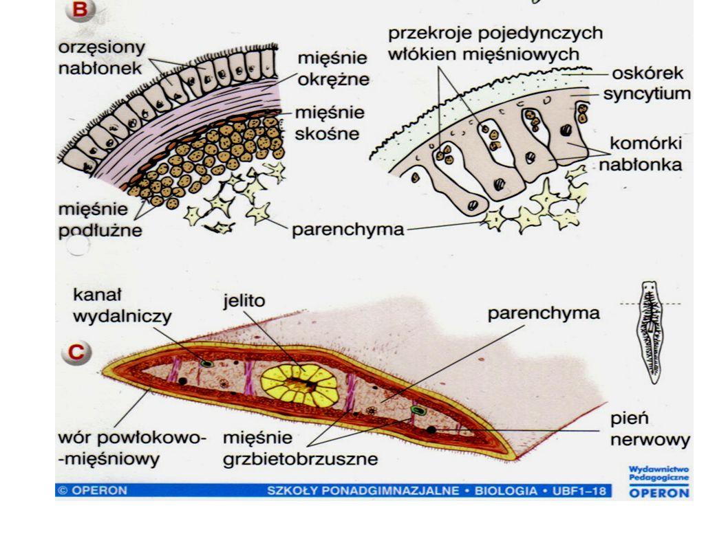 Rozwój przywr - z nielicznymi wyjątkami (przywra krwi) przywry są obojnakami - przechodzą złożony cykl rozwojowy, w którym dochodzi do zmiany żywiciela, z kilkoma stadiami larwalnymi - żywicielami pośrednimi są najczęściej ślimaki - przykład: cykl rozwojowy motylicy wątrobowej (Fasciola hepatica)
