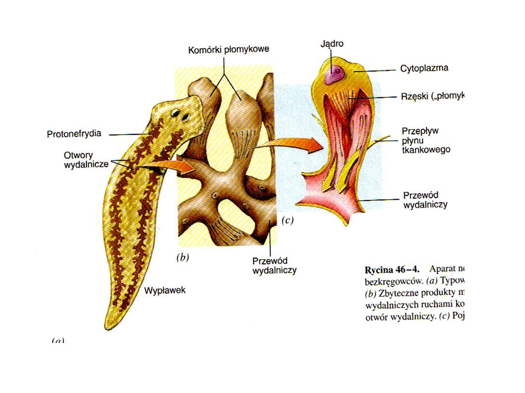 Układ nerwowy skupienie komórek nerwowych w okolicy głowowej wypławka określane jest mianem zwoju nerwowego i jest odpowiednikiem prymitywnego mózgu.