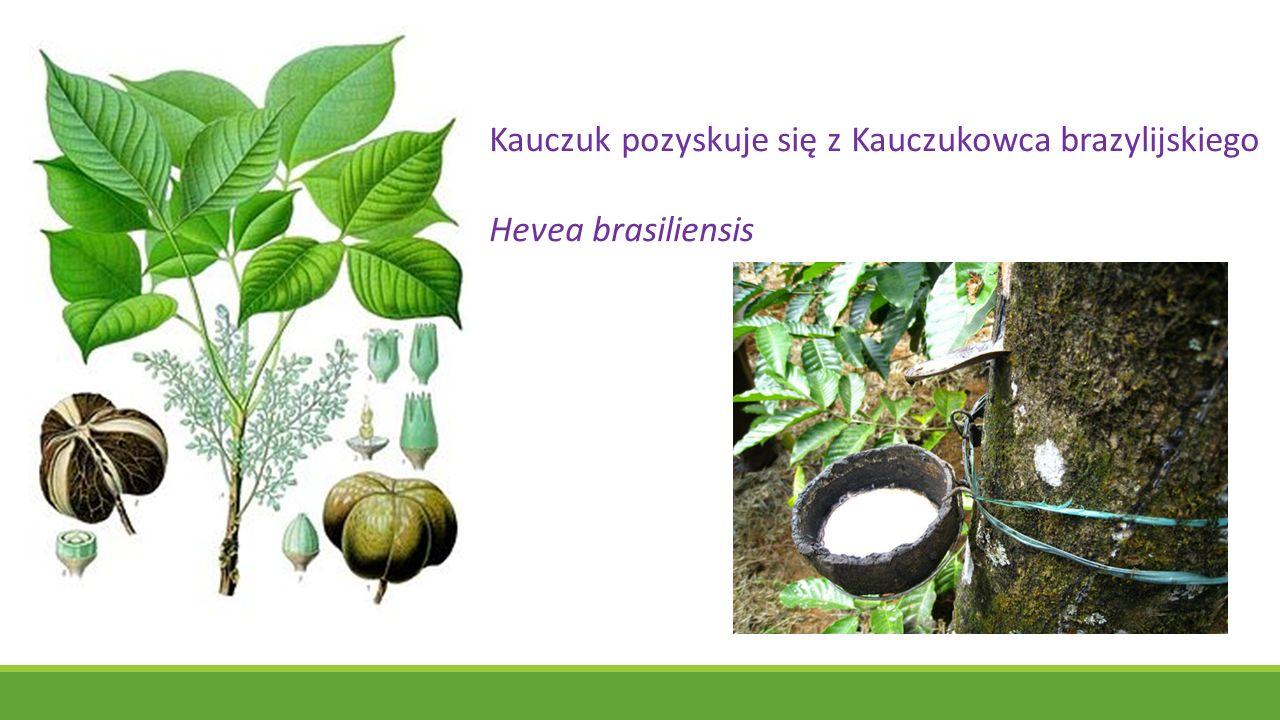 Kauczuk pozyskuje się z Kauczukowca brazylijskiego Hevea brasiliensis