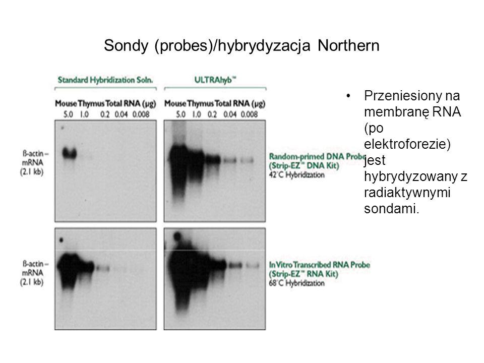 Sondy (probes)/hybrydyzacja Northern Przeniesiony na membranę RNA (po elektroforezie) jest hybrydyzowany z radiaktywnymi sondami.