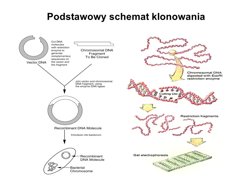 Detekcja sekwencji chromosomowych za pomocą FISH -Fluorescent In situ Hybridization