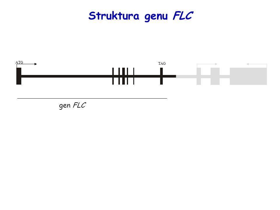 ATG TAG gen FLC Struktura genu FLC