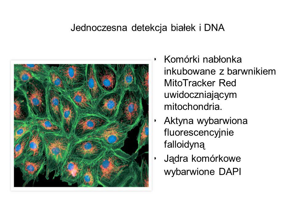 Jednoczesna detekcja białek i DNA Komórki nabłonka inkubowane z barwnikiem MitoTracker Red uwidoczniającym mitochondria. Aktyna wybarwiona fluorescenc
