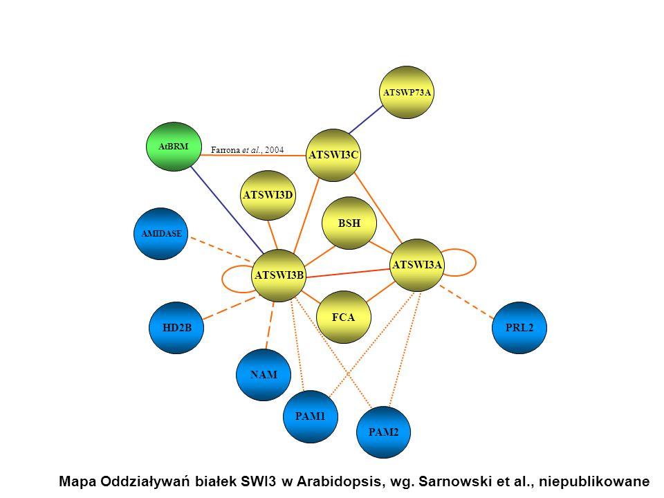 ATSWI3C BSH ATSWI3A ATSWI3B FCA ATSWI3D AtBRM Farrona et al., 2004 ATSWP73A HD2B NAM PAM1 PAM2 PRL2 AMIDASE Mapa Oddziaływań białek SWI3 w Arabidopsis