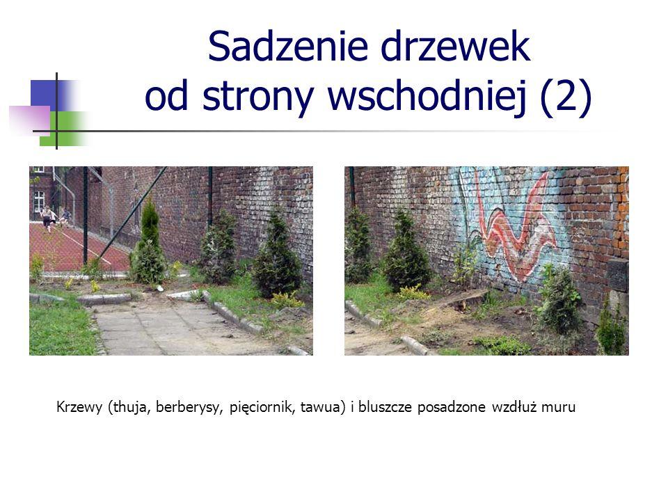 Sadzenie drzewek od strony wschodniej (2) Krzewy (thuja, berberysy, pięciornik, tawua) i bluszcze posadzone wzdłuż muru