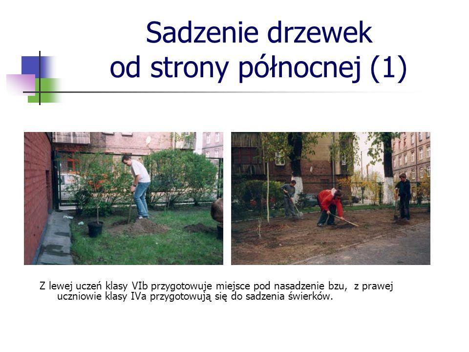 Sadzenie drzewek od strony północnej (1) Z lewej akcja sadzenia żywotników, które utworzyły żywopłot, z prawej uczniowie klasy Va sadzą irgę.