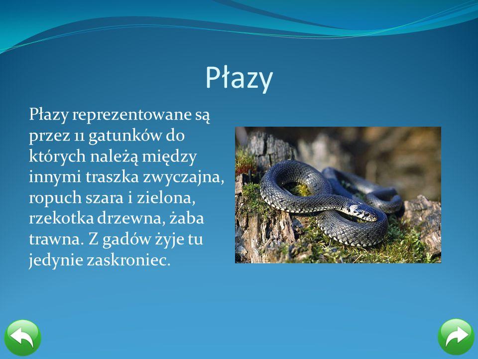 Płazy Płazy reprezentowane są przez 11 gatunków do których należą między innymi traszka zwyczajna, ropuch szara i zielona, rzekotka drzewna, żaba traw