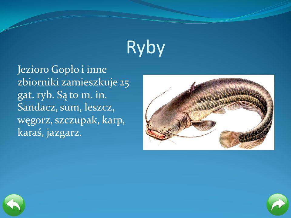 Ryby Jezioro Gopło i inne zbiorniki zamieszkuje 25 gat. ryb. Są to m. in. Sandacz, sum, leszcz, węgorz, szczupak, karp, karaś, jazgarz.
