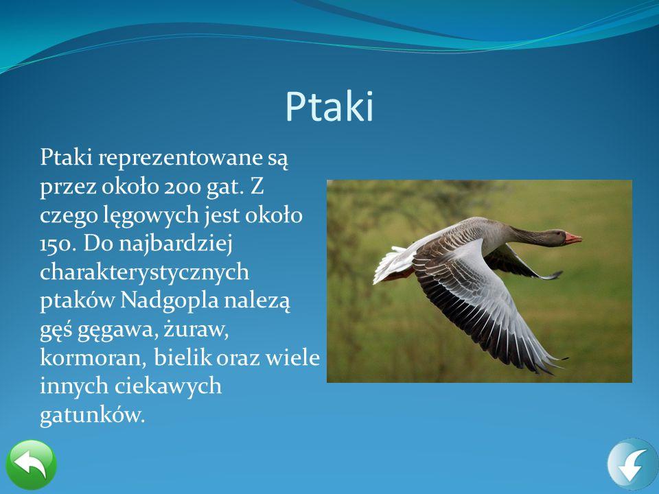 Ptaki Ptaki reprezentowane są przez około 200 gat. Z czego lęgowych jest około 150. Do najbardziej charakterystycznych ptaków Nadgopla nalezą gęś gęga