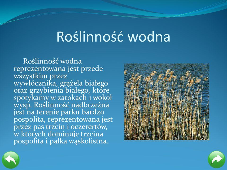 Roślinność wodna Roślinność wodna reprezentowana jest przede wszystkim przez wywłócznika, grążela białego oraz grzybienia białego, które spotykamy w z
