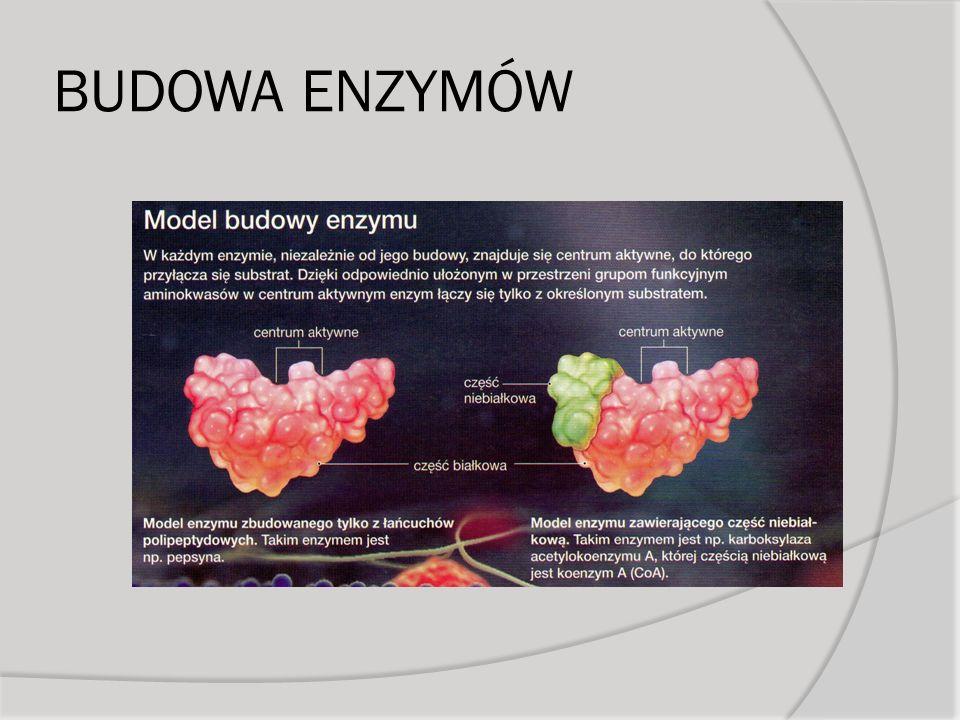 Regulacja przebiegu szlaków metabolicznych Regulacja aktywności enzymów Aktywacja proenzymów Regulacja liczby enzymów