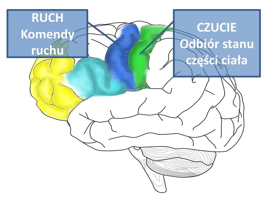 CZUCIE Odbiór stanu części ciała RUCH Komendy ruchu