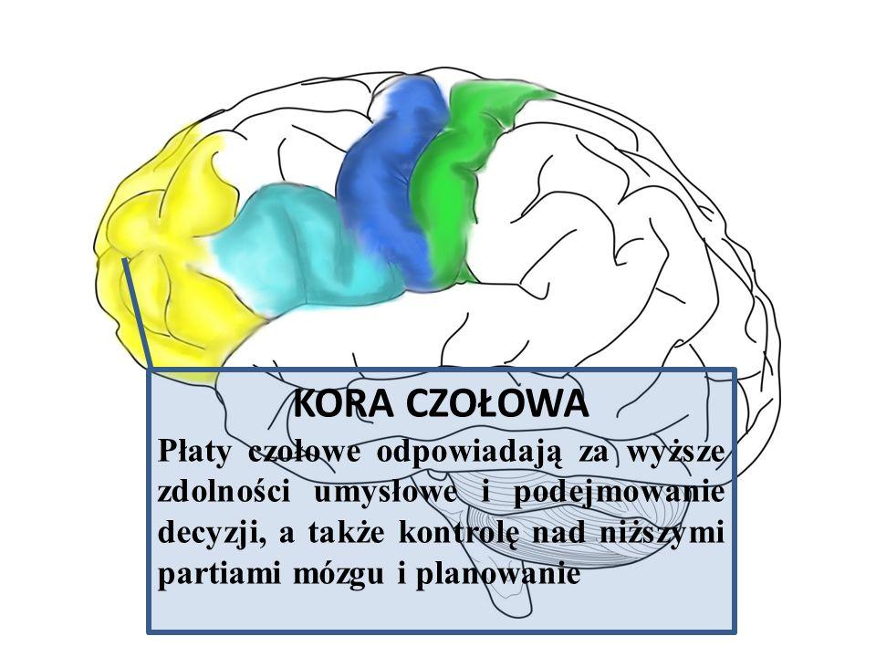 KORA CZOŁOWA Płaty czołowe odpowiadają za wyższe zdolności umysłowe i podejmowanie decyzji, a także kontrolę nad niższymi partiami mózgu i planowanie