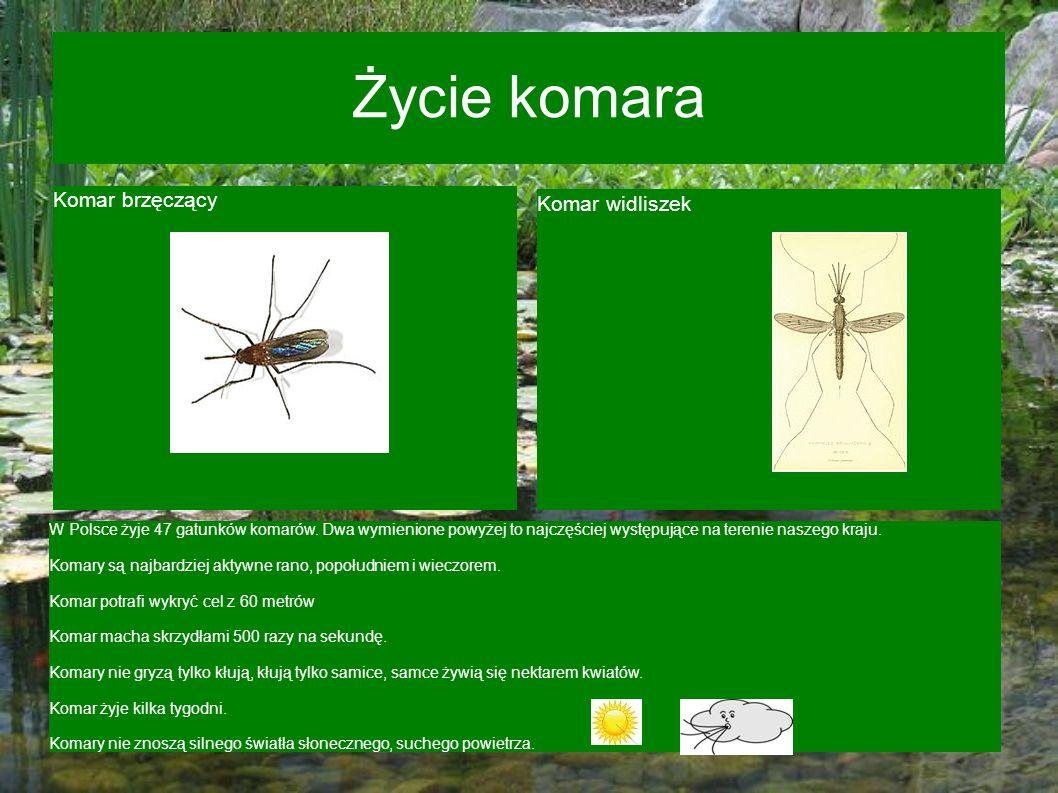 Życie komara Komar brzęczący Komar widliszek W Polsce żyje 47 gatunków komarów. Dwa wymienione powyżej to najczęściej występujące na terenie naszego k