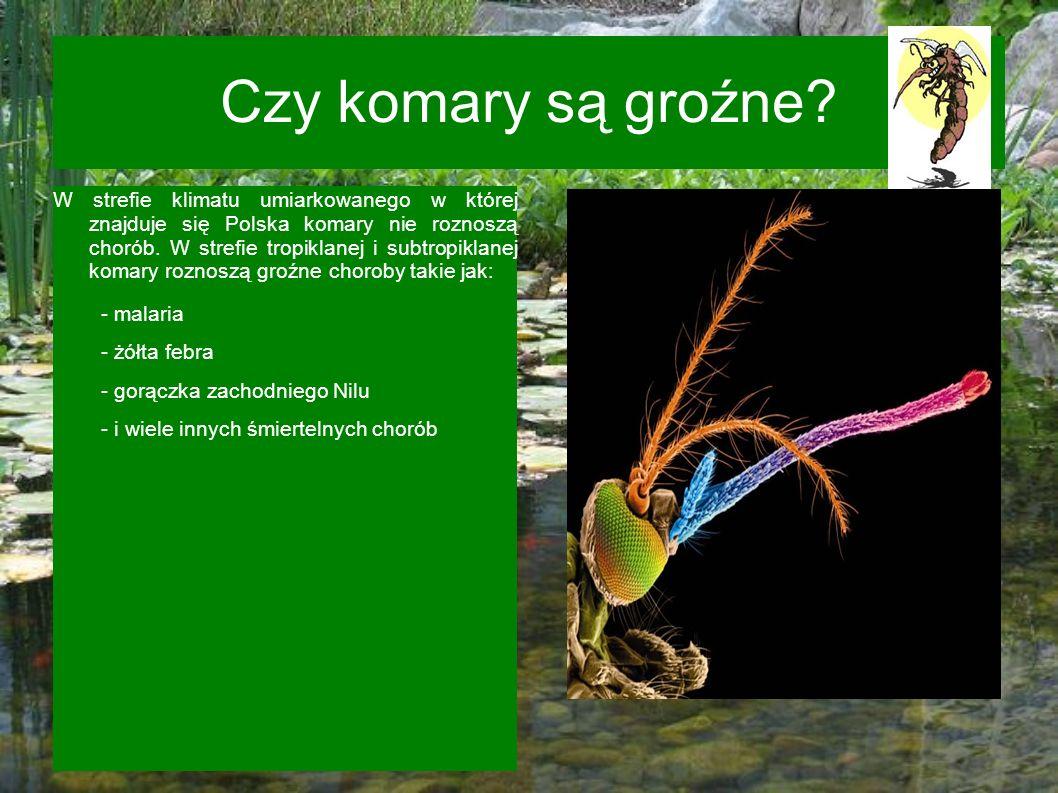 Czy komary są groźne? W strefie klimatu umiarkowanego w której znajduje się Polska komary nie roznoszą chorób. W strefie tropiklanej i subtropiklanej