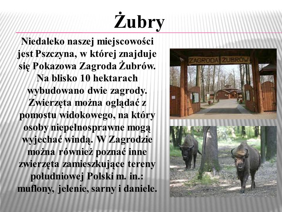 Żubry Niedaleko naszej miejscowości jest Pszczyna, w której znajduje się Pokazowa Zagroda Żubrów. Na blisko 10 hektarach wybudowano dwie zagrody. Zwie