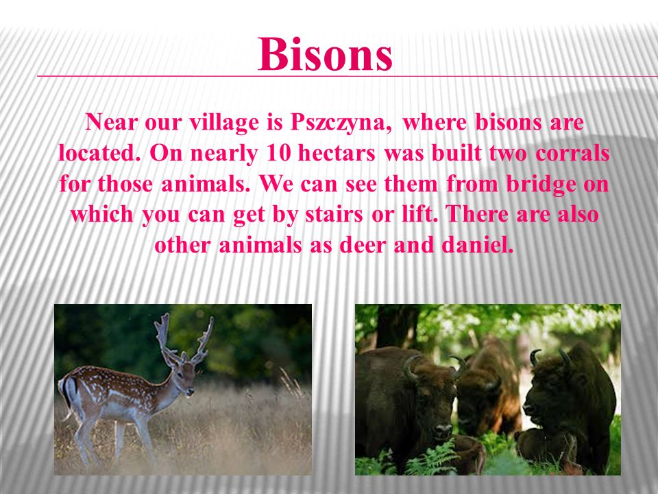 Bisons Near our village is Pszczyna, where bisons are located. On nearly 10 hectars was built two corrals for those animals. We can see them from brid